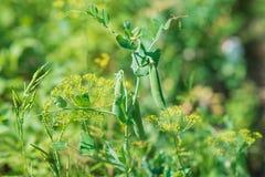 Зеленые сладостные горохи в саде Стоковое Изображение