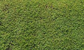 Зеленые текстура/предпосылка изгороди Стоковое Изображение