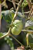 Зеленые томаты в саде Стоковая Фотография RF