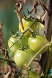 Зеленые томаты в саде Стоковые Изображения