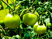Зеленые томаты растя на горе Laoshan стоковое изображение