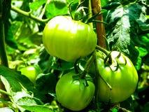 Зеленые томаты растя на горе Laoshan стоковая фотография rf