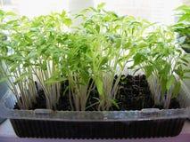 Зеленые томаты саженца Стоковая Фотография