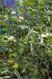 зеленые томаты Стоковое Фото