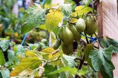 зеленые томаты Стоковые Фото
