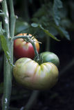 Зеленые томаты Heirloom стоковое изображение
