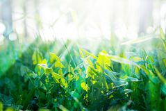 Зеленые травы лета и солнечные лучи Стоковое фото RF