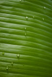 Зеленые тропические лист с падениями росы стоковое изображение