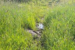 Зеленые тростники в болоте стоковые изображения