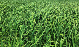 Зеленые тростники в природе Стоковое фото RF