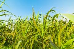 Зеленые тростники на солнечный день стоковое фото rf