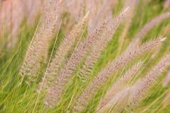зеленые тростники Стоковые Изображения RF