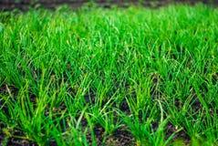 Зеленые луки в саде Стоковое Изображение RF
