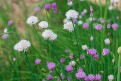 Зеленые луки в саде Стоковые Фото