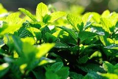Зеленые урожаи мяты стоковое изображение rf