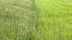 Зеленые урожаи Стоковые Фотографии RF