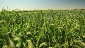 Зеленые уши жары лета пшеницы сток-видео