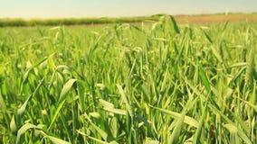 Зеленые уши жары лета пшеницы акции видеоматериалы