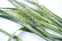 Зеленые уши пшеницы на белой предпосылке Стоковое фото RF