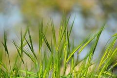 Зеленые уши пшеницы Стоковое Изображение RF