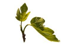 Зеленые фиговые листки Стоковые Фото
