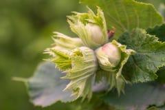Зеленые фундуки и листья дерева в лете садовничают Стоковые Изображения