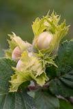 Зеленые фундуки и листья дерева в лете садовничают Стоковые Фото