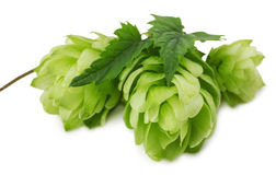 Зеленые хмели изолированные на белой предпосылке Стоковая Фотография RF