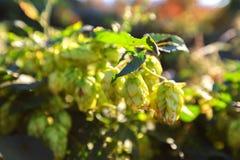 Зеленые хмели на солнечном дне на поле Стоковая Фотография RF