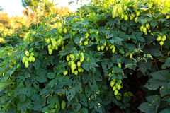 зеленые хмели Стоковая Фотография RF