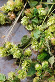 Зеленые хмель и уши ячменя Стоковая Фотография RF
