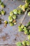 Зеленые хмель и уши ячменя Стоковые Изображения RF