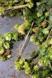 Зеленые хмель и уши ячменя Стоковые Фото