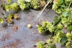Зеленые хмель и уши ячменя Стоковое Фото