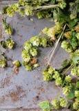 Зеленые хмель и уши ячменя Стоковая Фотография