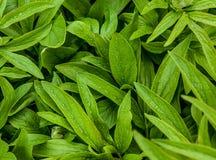 Зеленые цвета весны пионов Стоковые Изображения