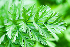 Зеленые цвета моркови Стоковая Фотография RF