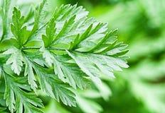 Зеленые цвета моркови Стоковое Изображение