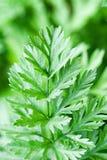 Зеленые цвета моркови Стоковая Фотография