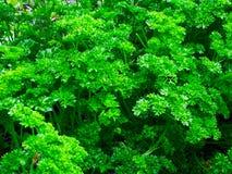 Зеленые цвета петрушки Стоковая Фотография RF