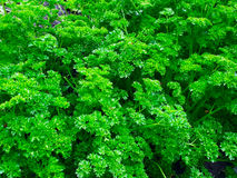 Зеленые цвета петрушки Стоковое Фото