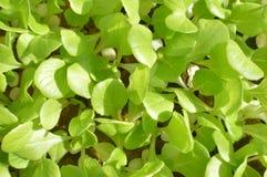 Зеленые цвета салата Стоковое Изображение