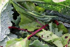 Зеленые цвета смешанного салата Стоковое Изображение