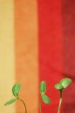 Зеленые цвета солнцецвета Стоковая Фотография RF