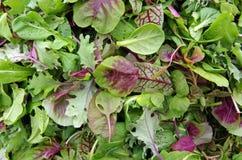Зеленые цвета micro салата Стоковое Изображение RF
