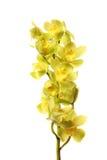 Зеленые цветки орхидеи с ветвью Стоковые Фотографии RF