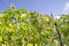 Зеленые черенок стручковой фасоли Стоковое Изображение
