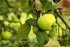 Зеленые яблоки на ветви в саде Стоковое фото RF