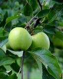 Зеленые яблоки на ветви с листьями Стоковая Фотография