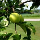 Зеленые яблоки на ветви с листьями Стоковая Фотография RF